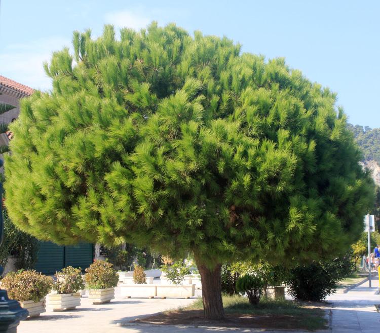 Хвойное дерево в Закинтосе