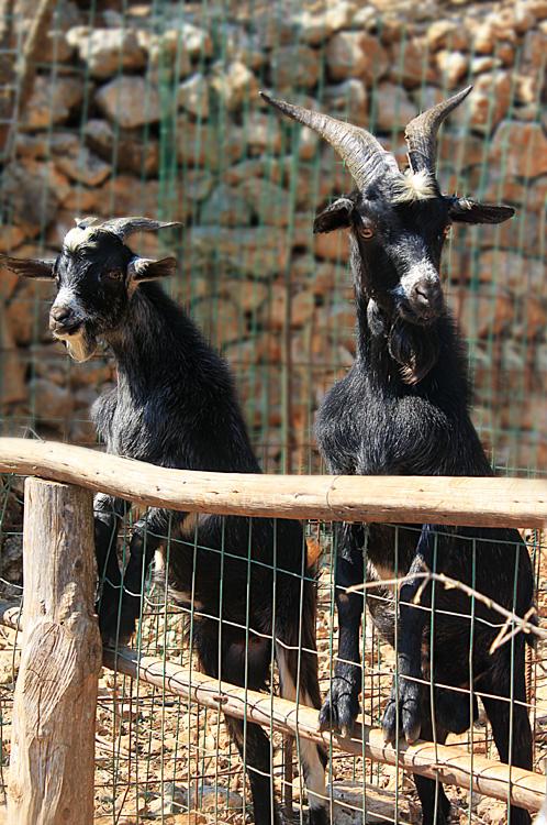 Горные козлы в парке Аскос