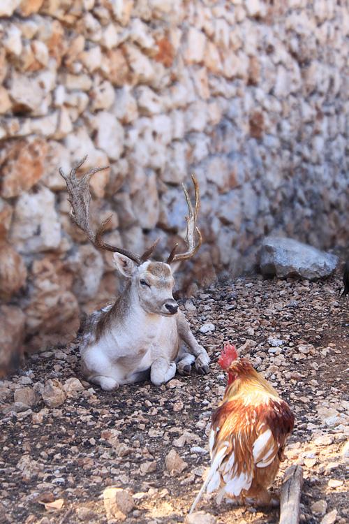 Олень и петух в парке Аскос