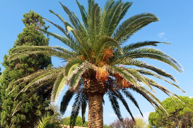 Пальма с финиками в Василикосе