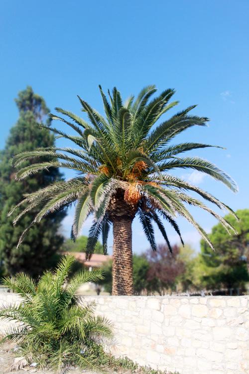 Финиковая пальма в Василикосе