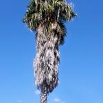 Необычная пальма