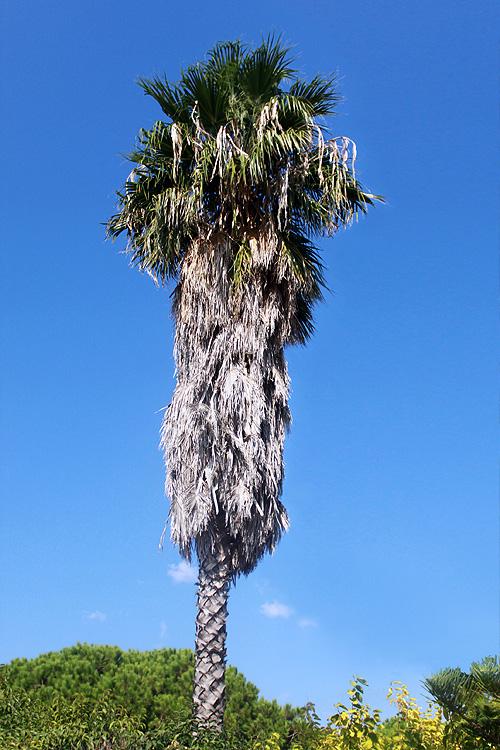 Необычная пальма в Василикосе