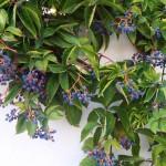 Голубые ягоды