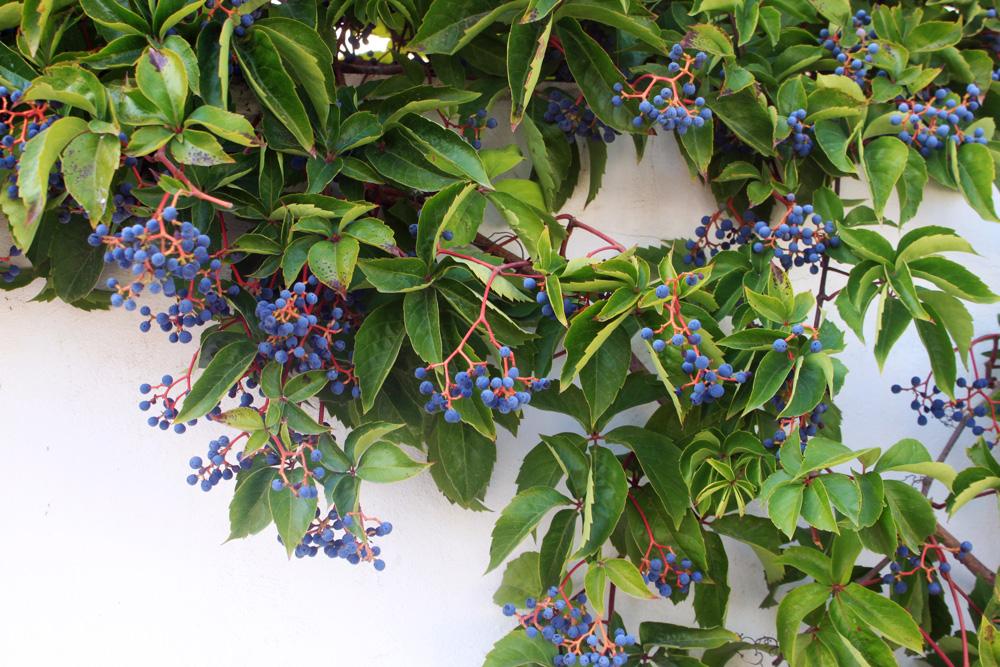Голубые ягоды в Закинтосе