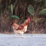 Курица